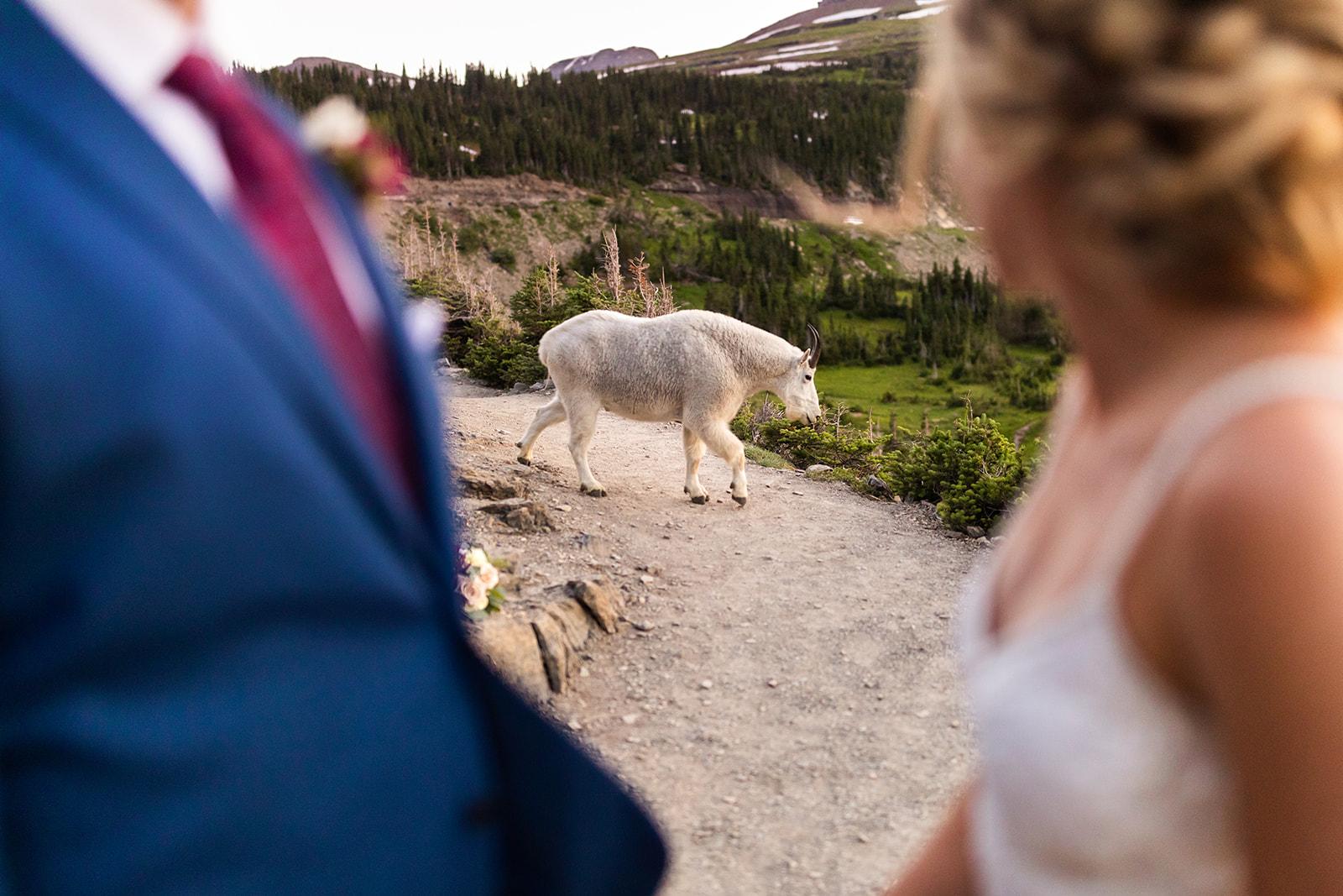 Goat on Highline Trail
